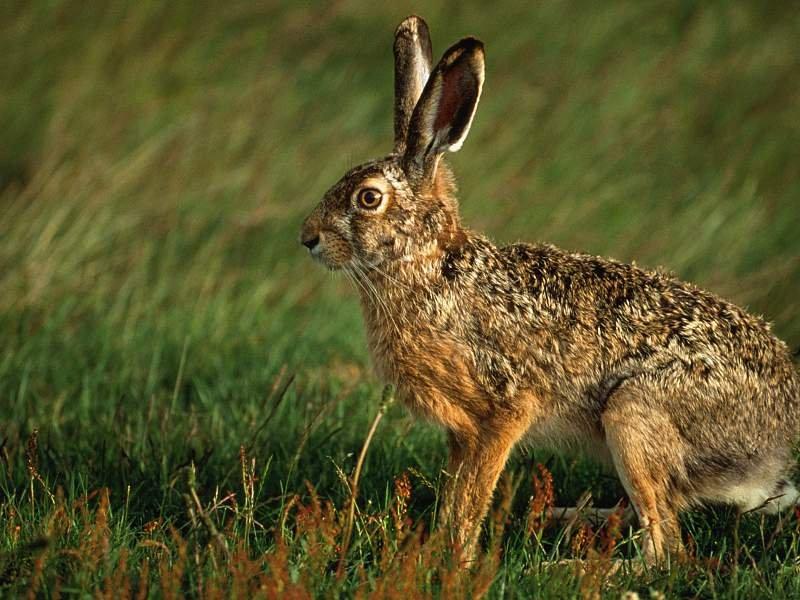 Tavşanlar - Tavşan Resimleri