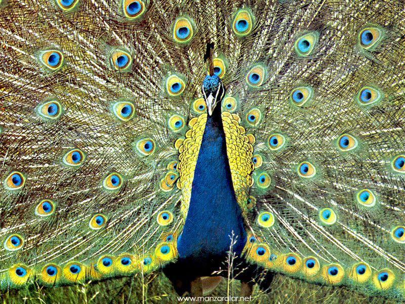 Tavuz Kuşu