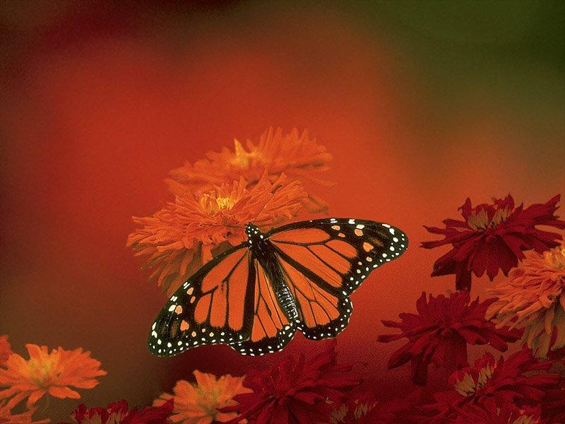 Kelebekler (Lepidoptera) - Kelebek Resimleri (1. Katalog)