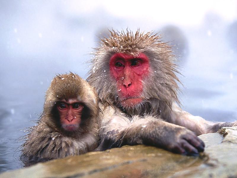 Maymun Resimleri